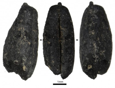 Figure 6. Neolithic hulled wheat grain from Hacı Elamxanlı Tepe.